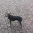 Bezdomny pies poszukuje właściciela…